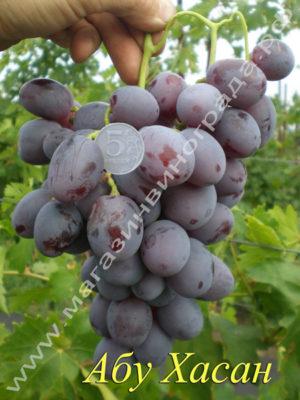 Сорт винограда Абу Хасан