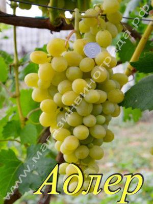 Сорт винограда Адлер