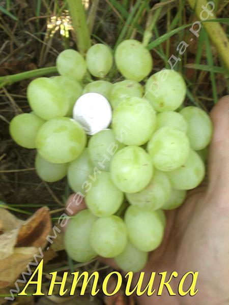 Сорт винограда Антошка