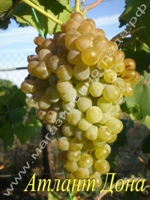 Сорт винограда Атлант Дона