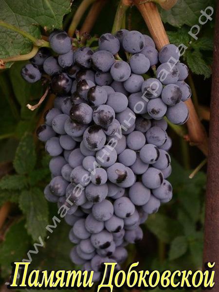 Сорт винограда Кишмиш Памяти Домбковской (ЧБЗ)