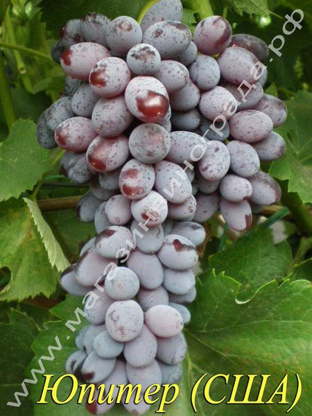 Сорт винограда Кишмиш Юпитер (США)