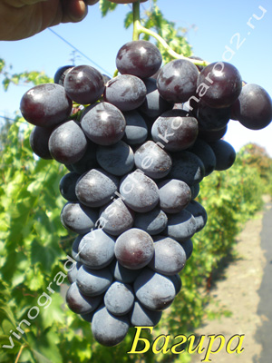 Сорт винограда Багира