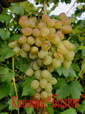 Сорт винограда кишмиш Балет