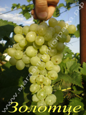 Сорт винограда Кишмиш Золотце