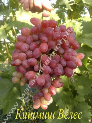 Сорт винограда кишмиш Велес