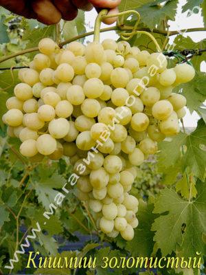 Сорт винограда Кишмиш-342