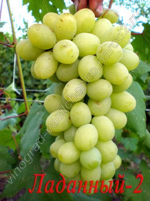 Сорт винограда Ладанный-2