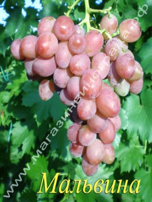 Сорт винограда Мальвина