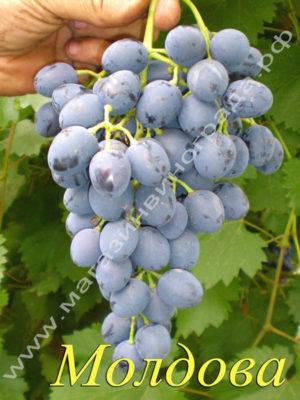 Сорт винограда Молдова