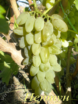 Сорт винограда Кишмиш Нептун