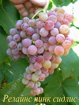 Сорт винограда Релайнс пинк сидлис