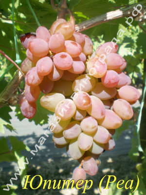 Сорт винограда Кишмиш Юпитер (РЕА)