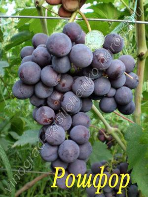 Сорт винограла Рошфор