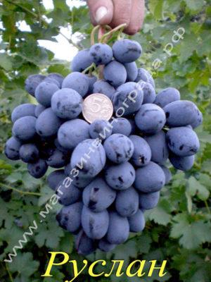 Сорт винограда Руслан