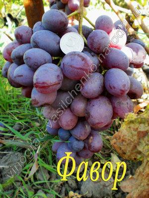 Сорт виногада Фавор