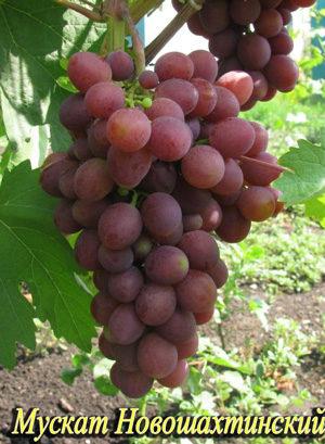 Сорт винограда Мускат Новошахтинский