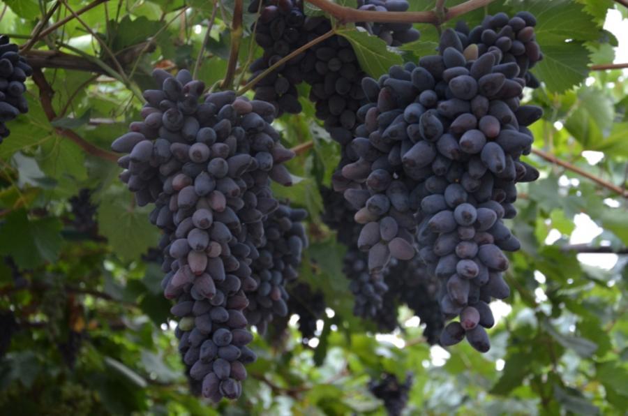 памяти негруля виноград фото фабрике олдрим шкурки