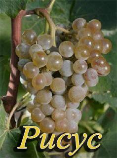 Сорт винограда Рисус