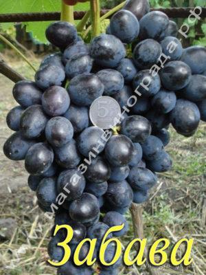 Сорт винограда Забава