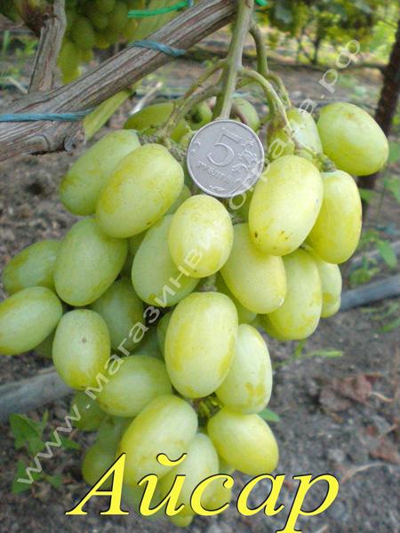 Сорт винограда Айсар