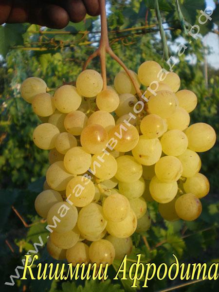 Сорт винограда Афродита