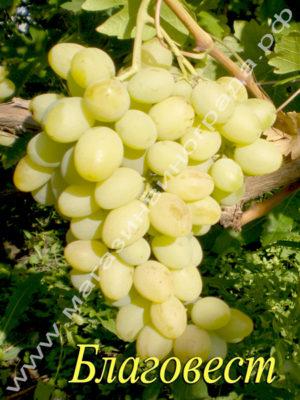 Сорпт винограда Благовест