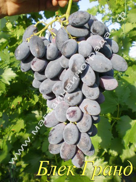 Сорт винограда Блек Гранд