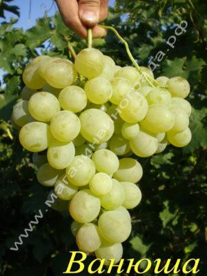 Сорт винограда Ванюша