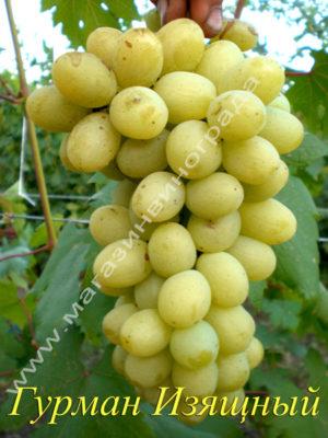 Сорт винограда Гурман Изящный