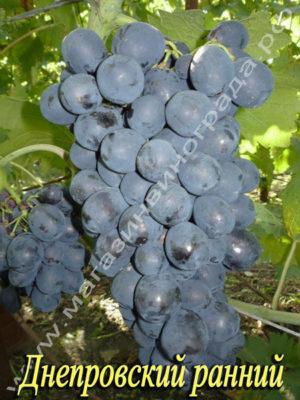 Сорт винограда Днепровский ранний