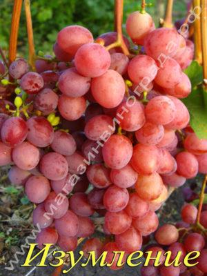 Сорт винограда Изумление