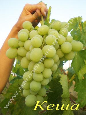 Сорт винограда Кеша (Талисман)