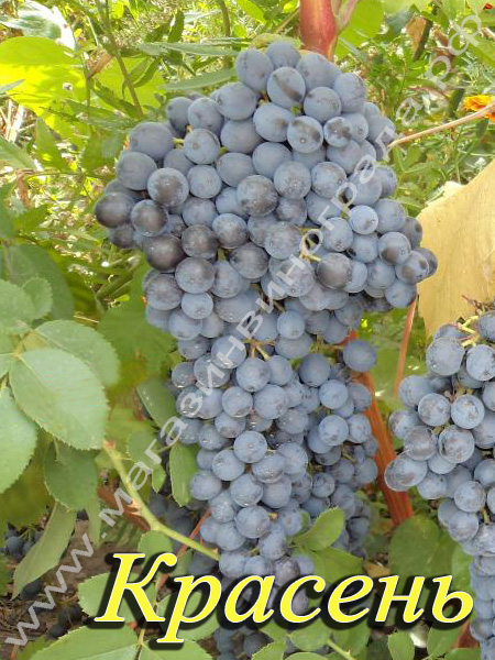Сорт винограда Красень