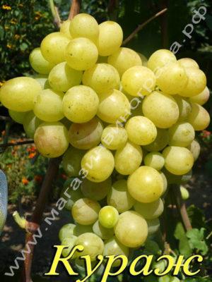 Сорт винограда Кураж