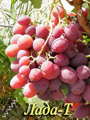 Сорт винограда Лада-Т