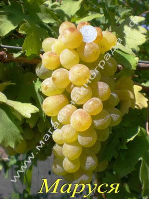 Сорт винограда Маруся