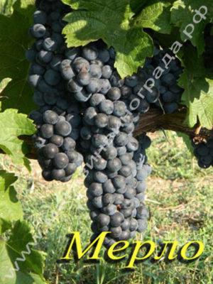 Сорт винограда Мерло