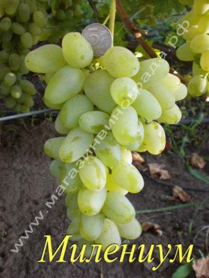 Сорт винограда Миллениум