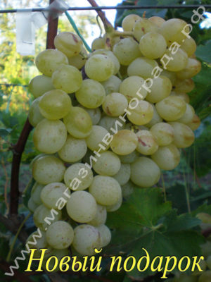 Сорт винограда Новый подарок