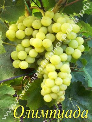 Сорт винограда Олимпиада