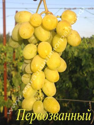 Сорт винограда Первозванный