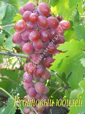 Сорт винограда Рубиновый-юбилей