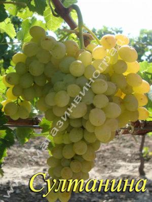Сорт винограда Султанина