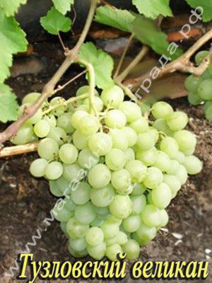 Сорт винограда Тузловский великан