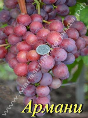 Сорт винограда Армани