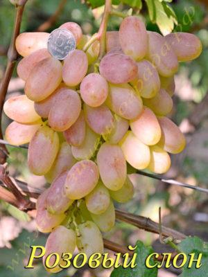 Сорт винограда Розовый слон