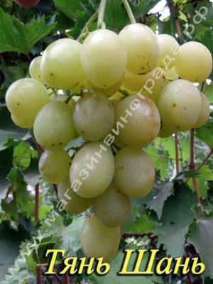 Сорт винограда Тянь Шань