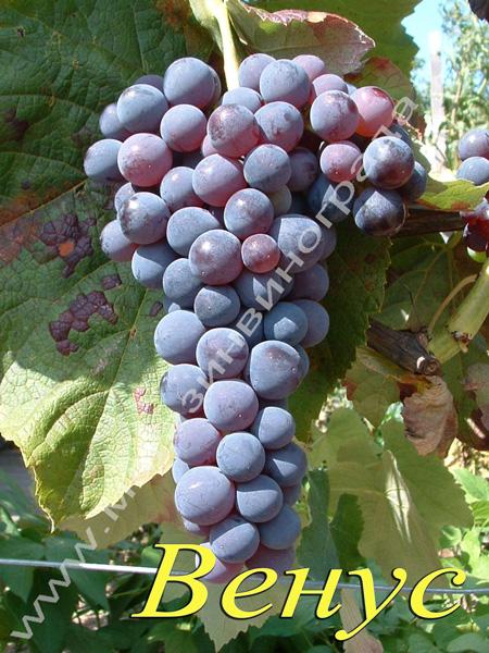 Сорт винограда Венус