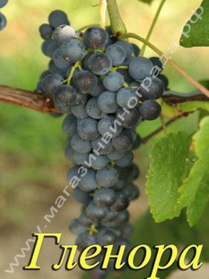 Сорт винограда Гленора сидлис